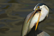 Closeup Shot Of A Gray Heron With His Beak Open In The Lake