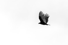 Solo Turkey Vulture Flying In A Blown Out Sky