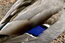 Closeup Of Brown And Blue Feathers Of A Male Mallard
