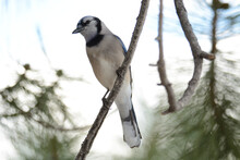 Blue Jay Bird Perched On Tree Branch In Evergreen Pine Tree