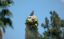 A Desert Bird Perches Atop A Flowering Saguaro Cactus