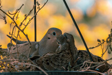 A Mourning Dove (Zenaida Macroura) Tends To Its Two Squabs In A Nest Built In A Hanging Flower Pot.