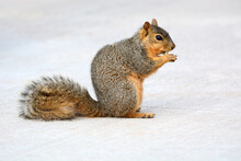 Urban Red Fox Squirrel Eating And Nibbling Morsel On Sidewalk