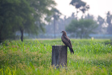 The Black Kite Is A Medium-sized Bird Of Prey In The Family Accipitridae. Black Kite Preching On Cement Pole In The Green Fields. Raptor Bird.