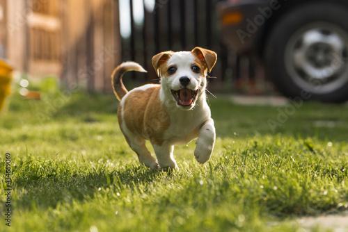 Obraz na plátně jack russell terrier running