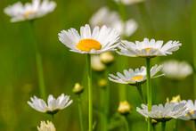 Oxeye Daisy Flowers On A Sunny Summer Meadow