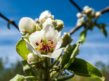 Beautiful Macro Shot Of Blossom On A Branch Of Pear Tree, Flowers With 5 White Petals, Numerous Red Anthers And Yellow Stigmas, In An Orchard With Beautiful Blue Sky Background