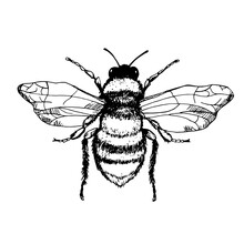Vector Engraving Illustration Of Honey Bee Isolated On White Background. Bee Close-up In Hand Drawn Style