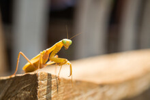 Praying Mantis Insect In Bali, Indonesia.