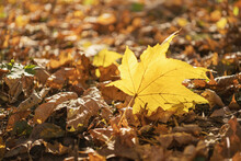 Single Yellow Maple Leaf Among The Carpet Of The Leaves Against The Sun Rays.