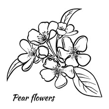 Pear Tree Flowers Sketch Hand Drawn Vector