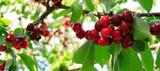 Fototapeta Kuchnia - Red big Cherries hanging on a cherry tree branch.