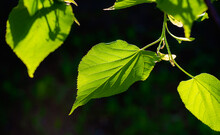 Bright Young Branches And Leaves Of A Linden Tree On A Black Background Are Illuminated By Sunlight, Viewed From The Bottom Up. Natural Background, Shade And Protection From The Scorching Sun Rays.