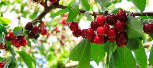 Fotografering Red big Cherries hanging on a cherry tree branch.