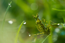 Close-up Of A Moss Mantis In Dew Covered Grass, Indonesia
