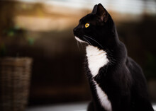 Portrait Of A Black And White Tuxedo Cat Looking At Sunset Through A Window