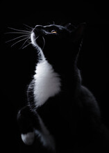 Portrait Of A Black And White Tuxedo Cat Looking Up