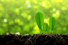 The Small Green Plant  Are Growing From The Rich Soil To The Morning Sunlight That Is Shining On Blurred Background,ecology Concept.