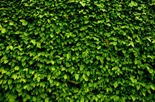 Hornbeam Green Hedge In Spring Lush Leaves Let In Light Trunks And Larger Branches Can Be Seen Natural Separation Of The Garden From The Surroundings Can Withstand Drought