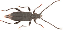Ropalopus Macropus Is A Species Of Long-horned Beetle In The Family Cerambycidae. Dorsal View Of Isolated Longicorn Beetle On White Background.
