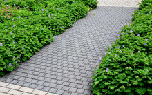 Path Between Two Beds Of Quality. It Is A Sidewalk Overgrown With Bunches Of Green Perennials With Blue Flowers