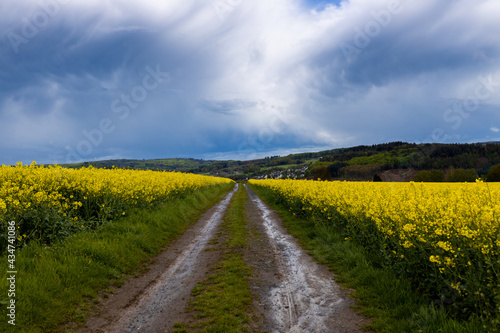 Landscape, dirt road through a blooming rapeseed field after heavy rain, sky with retreating rain front and cirrus clouds..