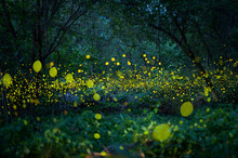 Firefly, Lightning Bugs Flying At Night In The Forest