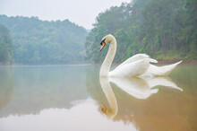 White Swan In The Lake With Beautiful Reflection , Calm And Mindfulness Concept