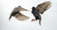 Stare Vögel