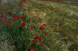 kwiaty maki łąka rośliny wiosna zieleń