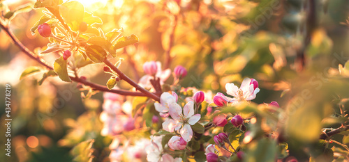 Foto Blooming fruit tree in the garden at sunset background