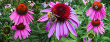 Large Pink Flowers And Bumble Bees In Summer Garden
