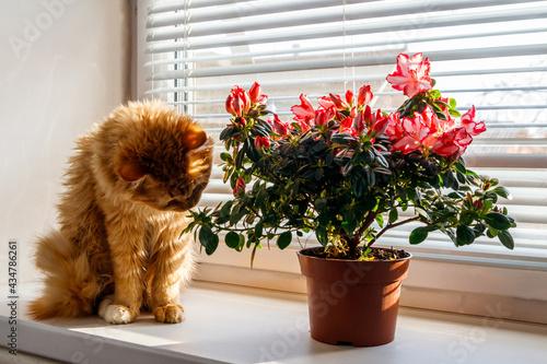 Canvastavla Blooming pink azalea in flower pot and ginger cat on windowsill
