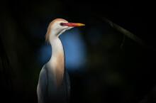 A Cattle Egret In Breeding Plumage