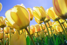 Yellow Tulips Tilted By The Wind In Close-up Against A Blue Sky