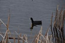 Swan Lake, Nicollet, MN USA - 04/24/2021 - American Coot Fulica Americana