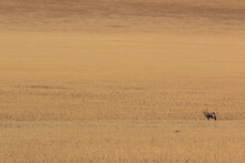 Lone Oryx Standing In Savannah Dry Landscape In Namibia