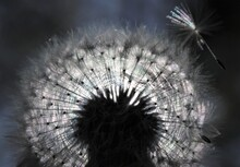 Dandelion Seed Head In Sunshine