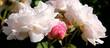 Róże białe i różowe