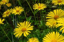 Doronicum Flowering In The City Garden.