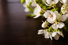 White Sprig Of Blooming Apple Tree Close-up. Flowering Period. Flower Nectar. Banner Or Holiday Certificate, Copy Space, Text Place. Gardening Billboard. Tree Sort. Spring Time. Selection Science