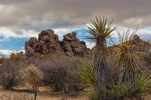 Joshua Tree National Park, CA, USA - December 30, 2012: Up Front Green Topped Trees In Patch Of Dry Vegetation In Front Of Heap Of Brown Rocks Under Brown Rainy Cloudscape.