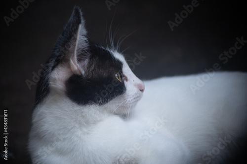 Fotografie, Obraz Retrato de perfil de gato blanco con negro.