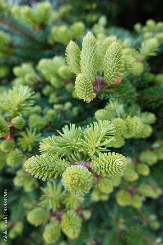 Wallpaper Mural Abies balsamea or balsam fir is a North American fir, native to most of eastern