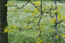 Honey Locus Branch With New Leaves Photographed Against A Grassy Area With Tufts Of Dandelion Seed Heads