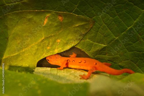 Obraz na plátně Eastern red spotted newt 28