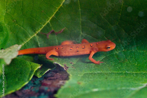 Fototapeta Eastern red spotted newt 14