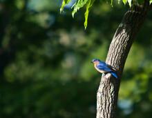 Eastern Bluebird Poised For Flight