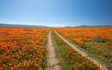 Desert Dirt Road Through Field Of California Golden Poppies In The High Desert Of Southern California USA