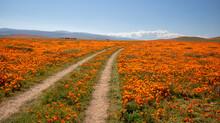 Curving Desert Dirt Road Through Field Of California Golden Poppies In The High Desert Of Southern California USA